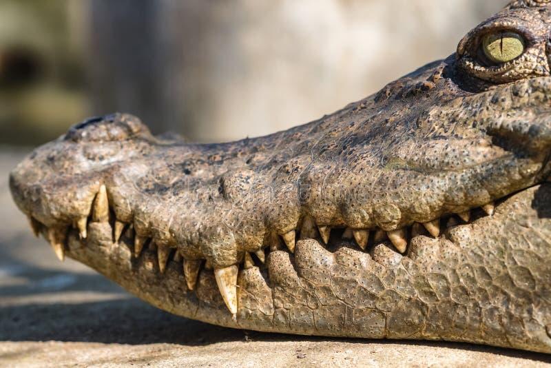 Close-uphoofd van een krokodil royalty-vrije stock afbeeldingen