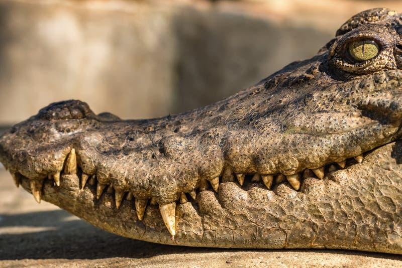 Close-uphoofd van een krokodil stock fotografie