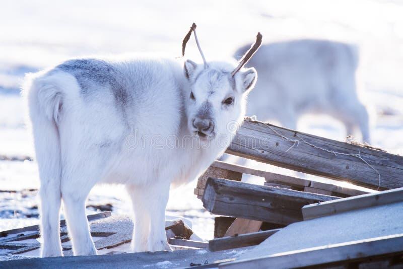 Close-uplandschap met wild rendier De winter Svalbard met massieve geweitakken in sneeuw, Noorwegen De aard Spitsberg van de het  stock foto's