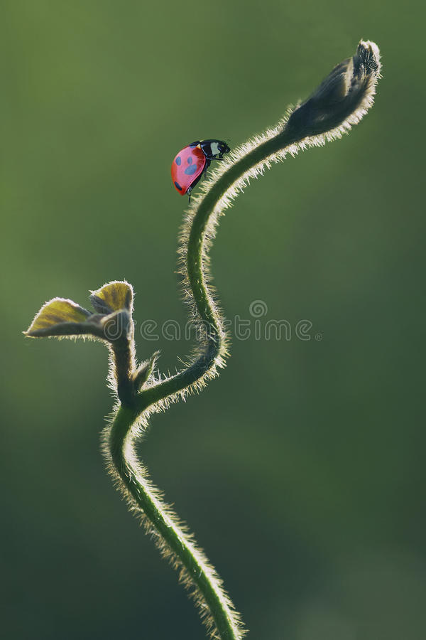 Close-uplieveheersbeestje stock foto's