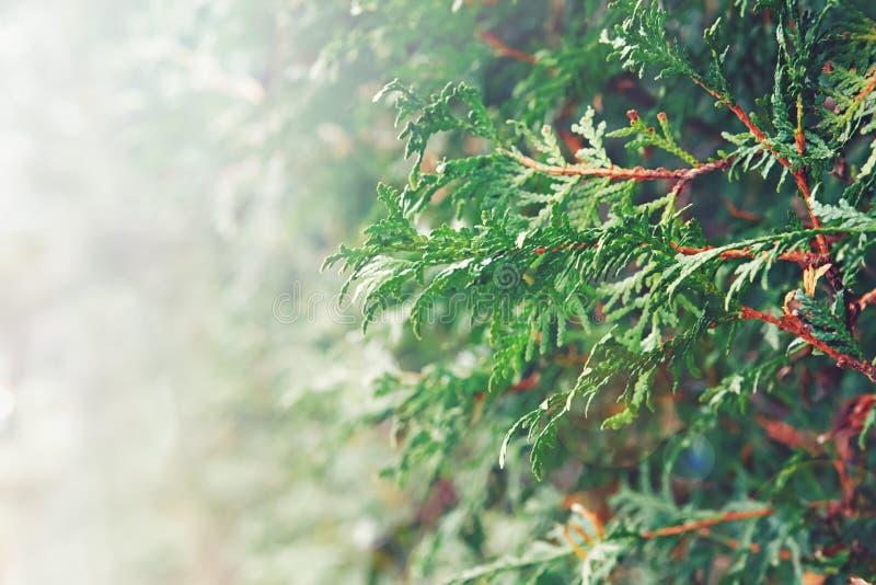 Close-upmacro van witte rode ceder, takken van het arborvitae de groene blad royalty-vrije stock afbeeldingen
