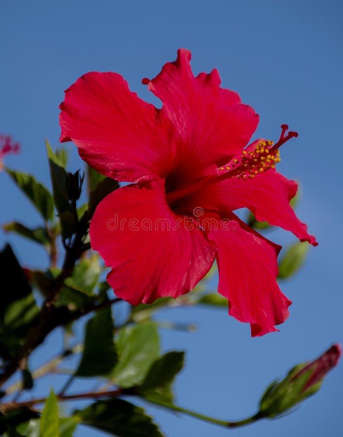 Close-upmening van briljante rode hibiscusbloesem tegen blauwe hemel royalty-vrije stock afbeeldingen