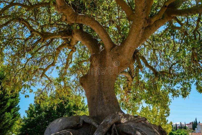 Close-upmening van de oude en grote boom royalty-vrije stock afbeeldingen