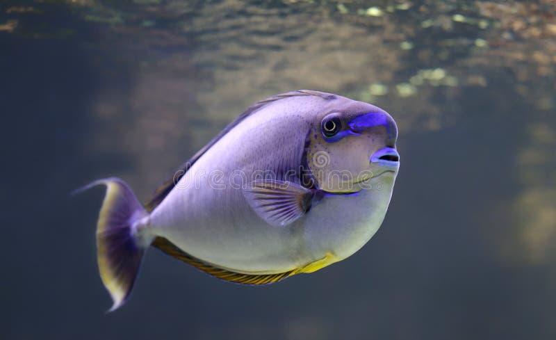 Close-upmening van een bignose unicornfish stock fotografie