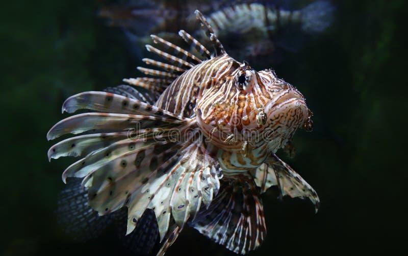 Close-upmening van een gemeenschappelijke lionfish stock foto's