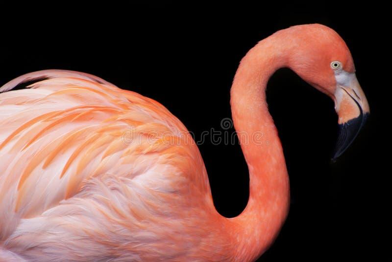 Close-upmening van geïsoleerde flamingo stock fotografie