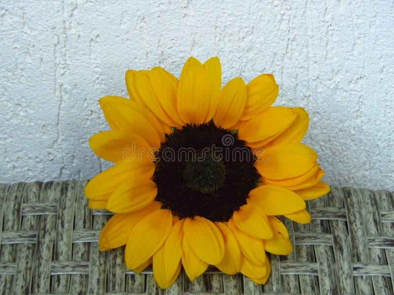 Close-upmening van Geeloranje de Zomer Lange Zonnebloemen van Sunrich op rotan en witte muurtextuur als achtergrond royalty-vrije stock fotografie