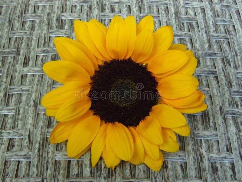 Close-upmening van Geeloranje de Zomer Lange Zonnebloemen van Sunrich op rotanachtergrond royalty-vrije stock foto
