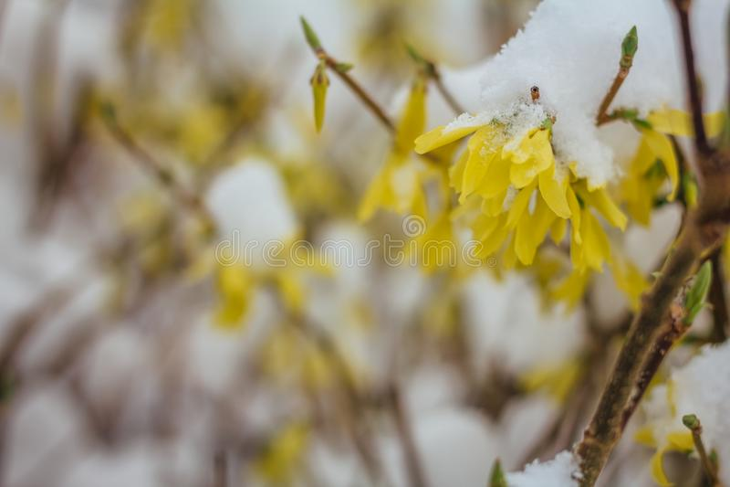 Close-upmening van gele struik onder de sneeuw De lentebloesem en royalty-vrije stock afbeelding