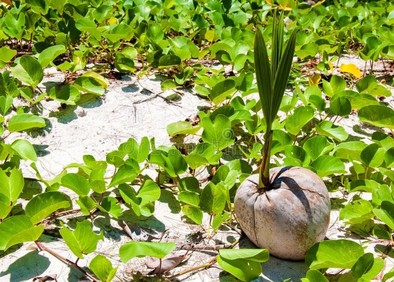 Close-upmening van kokosnotenspruit stock fotografie
