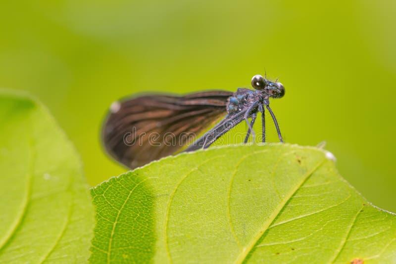 Close-upmening van onderaan van de species van damselflyjewelwing die ik op een blad met vlotte groene achtergrond heb geloofd -  stock foto's