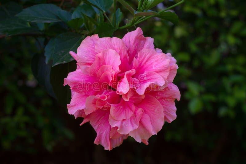 Close-upmening van roze hibiscus tegen vage groene achtergrond royalty-vrije stock foto