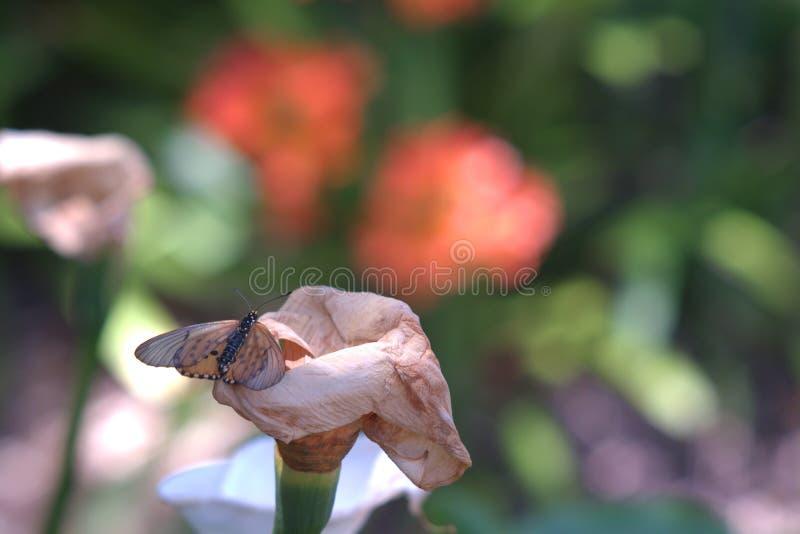 Close-upmening van vlinder op Aronskelk Lilly in Kaap, Stad royalty-vrije stock foto