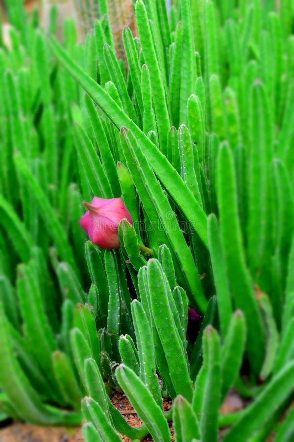 Close upp av kaktusblomman fotografering för bildbyråer
