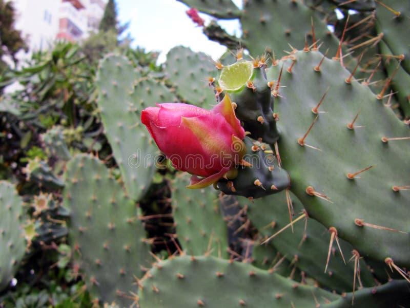 Close upp av kaktusblomman arkivbild