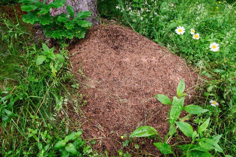 close upp Enorm myrstack med kolonin av myror i sommarskog arkivfoto