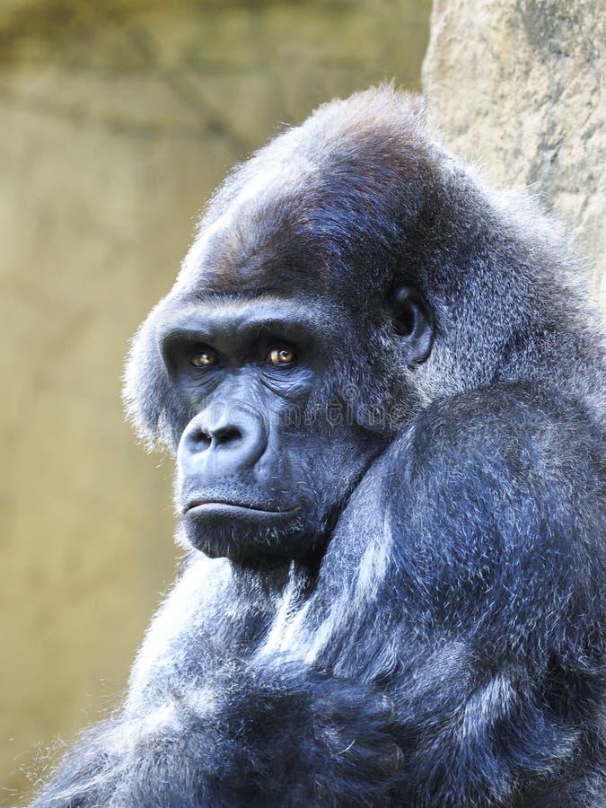 Close-upportret die van een Mannelijke Silverback-Gorilla, u bekijken royalty-vrije stock foto's