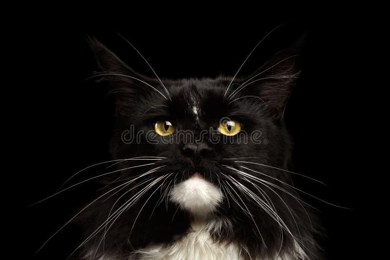Close-upportret Maine Coon Cat Looking Camera, Geïsoleerde Zwarte Achtergrond stock afbeelding