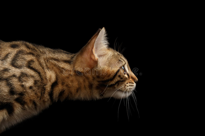 Close-upportret, Profielmening van Bengalen Kitty Isolated Black Background stock afbeelding
