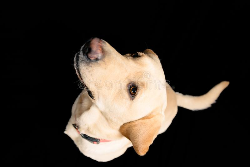 Close-upportret in studio van blond Labrador op zwarte achtergrond stock foto