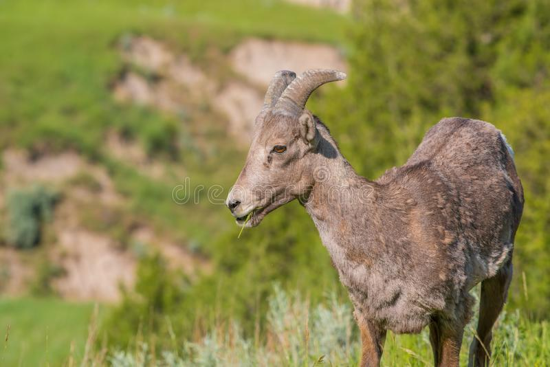 Close-upportret van bighornschapen op een heuvelig gebied van het Nationale Park van Badlands stock fotografie