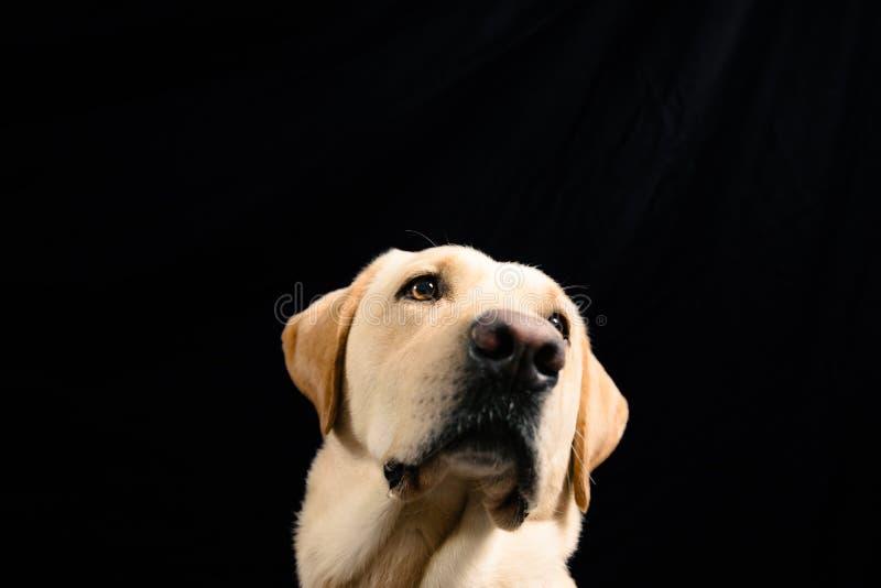 Close-upportret van blond Labrador op zwarte achtergrond royalty-vrije stock foto
