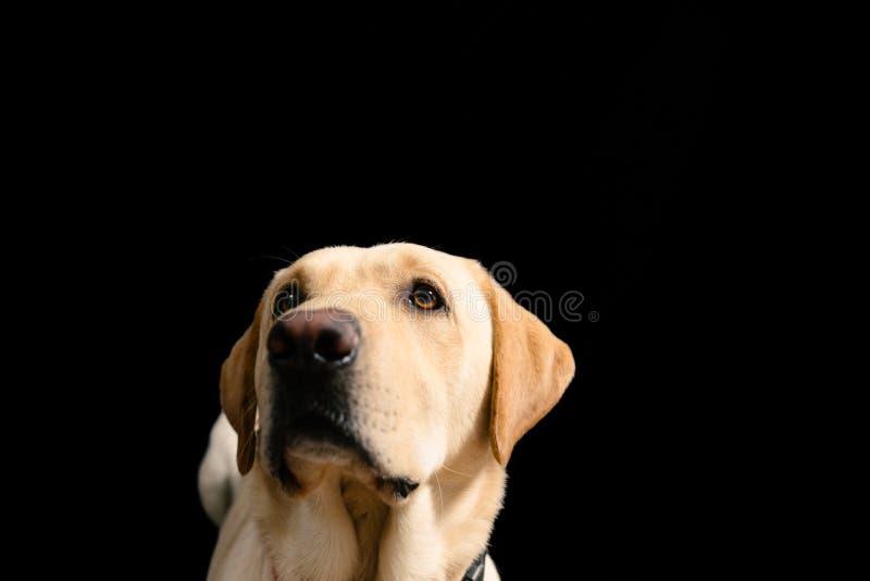 Close-upportret van blond Labrador op zwarte achtergrond stock foto