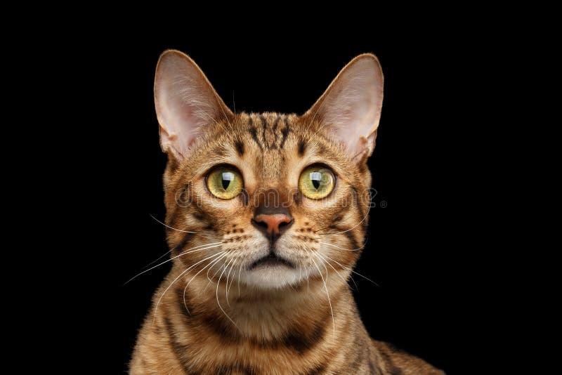Close-upportret van de Nieuwsgierige Kat van Gezichtsbengalen, Geïsoleerde Zwarte Achtergrond stock foto's
