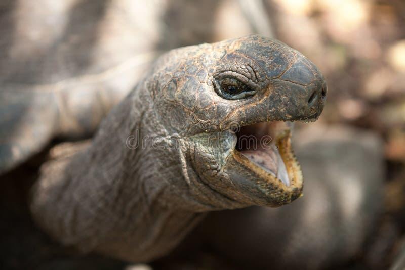Close-upportret van de reuzeschildpad van Aldabra Praslineiland, Seychellen stock foto's
