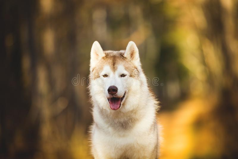 Close-upportret van de schitterende, vrije en prideful Beige en witte Siberische Schor zitting van het hondras in het heldere de  stock foto