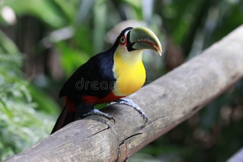 Close-upportret van de tocotoekan met heldergroene bek en groene ogen Ramphastostoco brazili? Iguazu stock foto