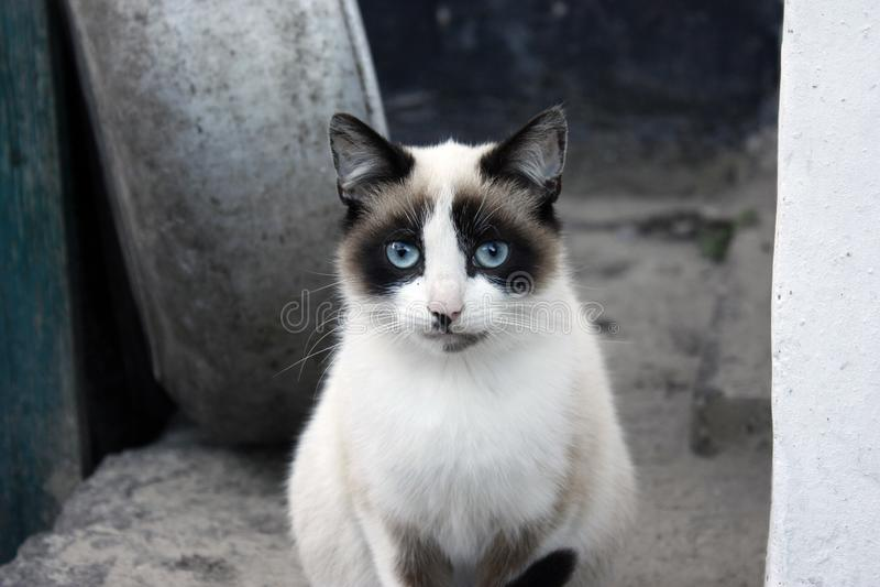 Close-upportret van een kat, met blauwe ogen en duidelijk bont stock afbeelding