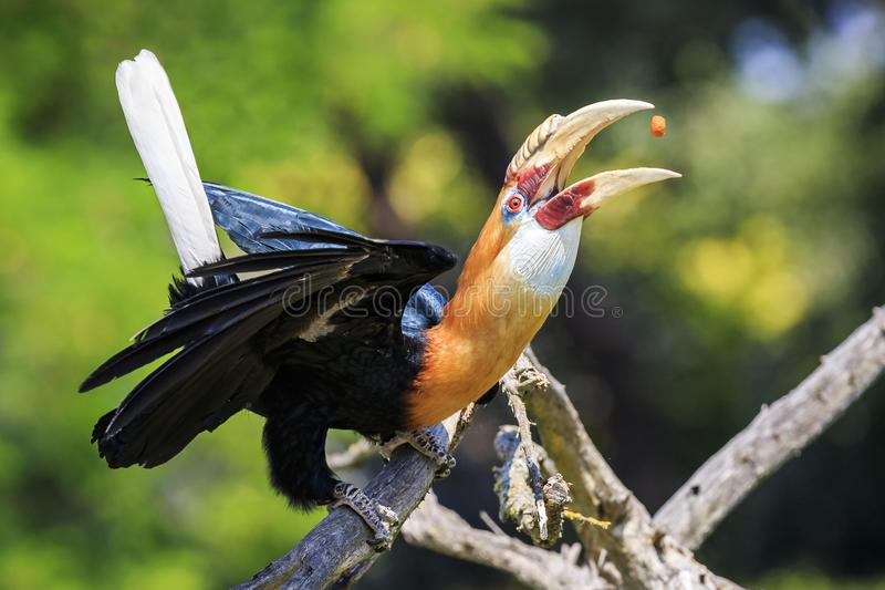 Close-upportret van een mannelijke plicatus van Blyth ` s hornbill Rhyticeros royalty-vrije stock fotografie