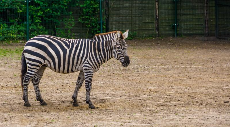 Close-upportret van een specie van het toelagen gestreepte, tropische paard van Afrika, populair dierentuindier royalty-vrije stock fotografie