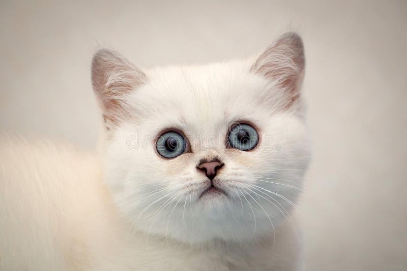 Close-upportret van een wit Brits katje die de camera bekijken royalty-vrije stock foto