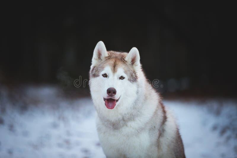 Close-upportret van gelukkige, prideful en vrije Siberische Schor hondzitting op de sneeuwweg in thedarkbos in de winter royalty-vrije stock afbeelding