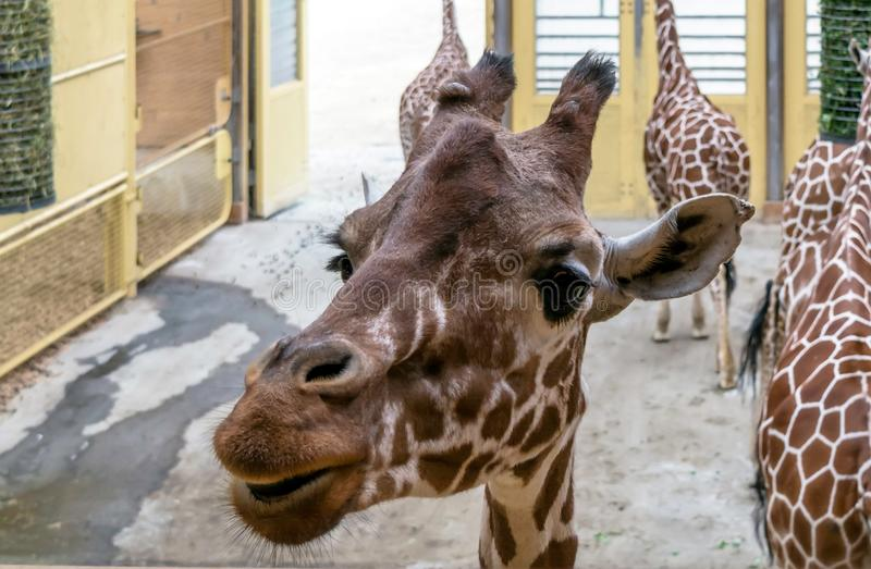 Close-upportret van giraf Met een netvormig patroon stock foto's
