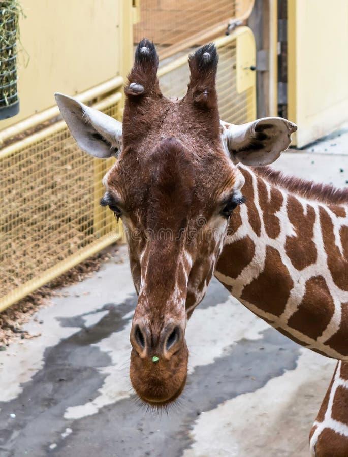 Close-upportret van giraf Met een netvormig patroon royalty-vrije stock fotografie