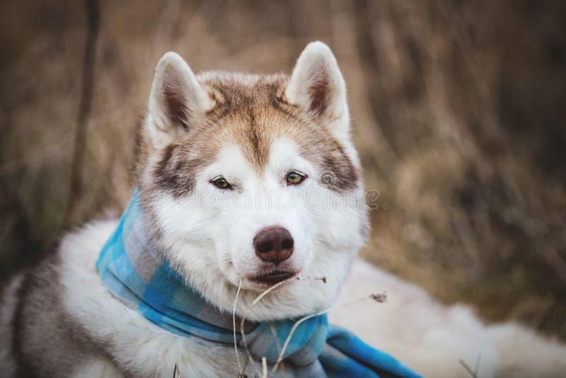 Close-upportret van het schitterende en prideful hondras Siberische schor liggen in de blauwe geruite sjaal op het gebied stock foto's