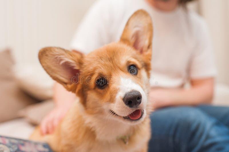 Close-upportret van leuke gelukkige puppy Welse corgi stock afbeelding