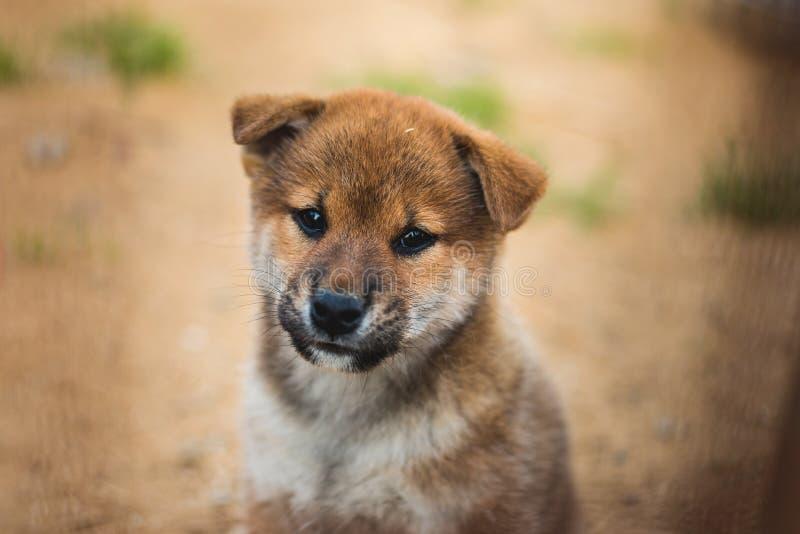 Close-upportret van leuke Japanse het puppysittingoutside van shibainu ter plaatse en kijkend aan de camera royalty-vrije stock foto's
