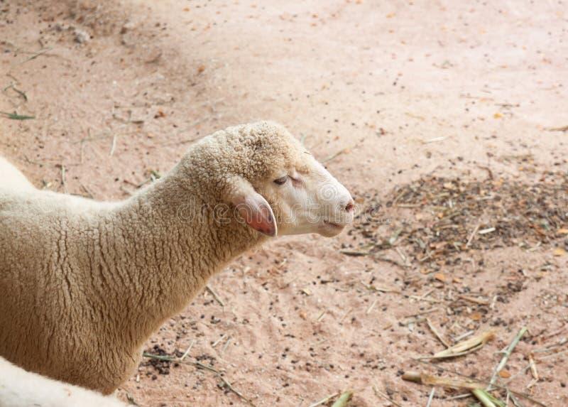 Close-upportret van leuke schapen op grond royalty-vrije stock afbeeldingen