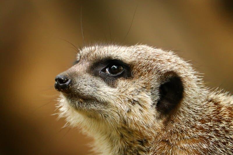 Close-upportret van meerkat royalty-vrije stock afbeeldingen