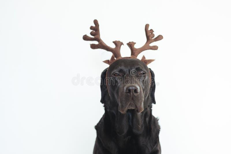 Close-upportret van mooi zwart Labrador met bruine rendierhoornen Witte achtergrond het concept van huisdieren binnen Kerstmis royalty-vrije stock foto's