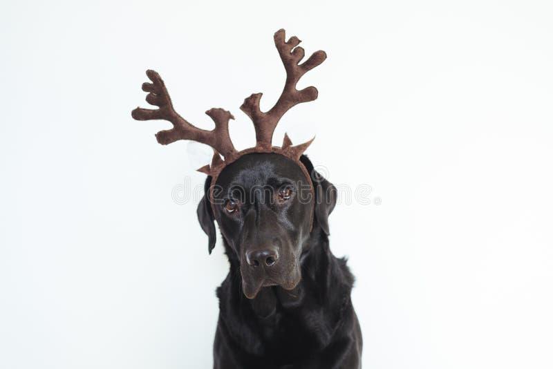 Close-upportret van mooi zwart Labrador met bruine rendierhoornen Witte achtergrond het concept van huisdieren binnen Kerstmis stock afbeeldingen