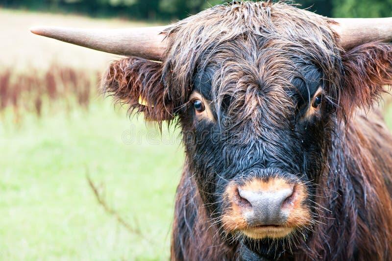 Close-upportret van mooie hoogland Schotse harige rode koe royalty-vrije stock afbeelding