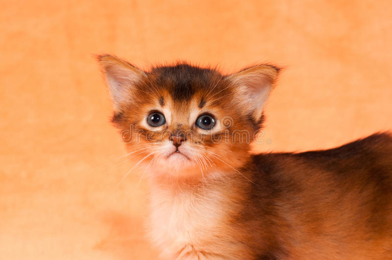 Close-upportret van Somalisch katje stock fotografie