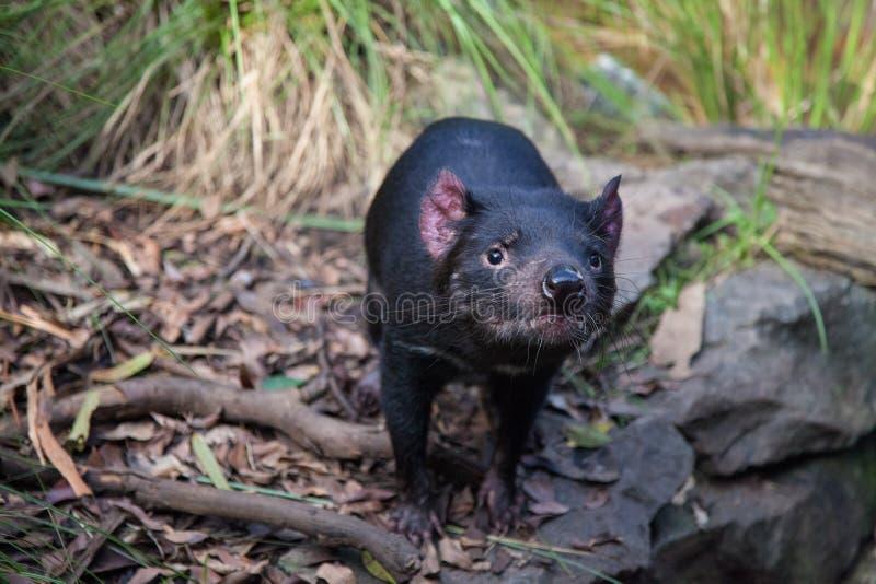 Close-upportret van Tasmaanse harrisii die van duivelssarcophilus de camera bekijken royalty-vrije stock foto's
