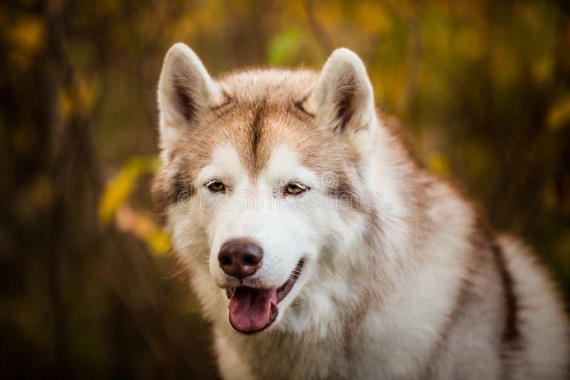Close-upportret van vrije en prideful Beige Siberische Schor op een bosachtergrond in gouden de herfstseizoen stock fotografie