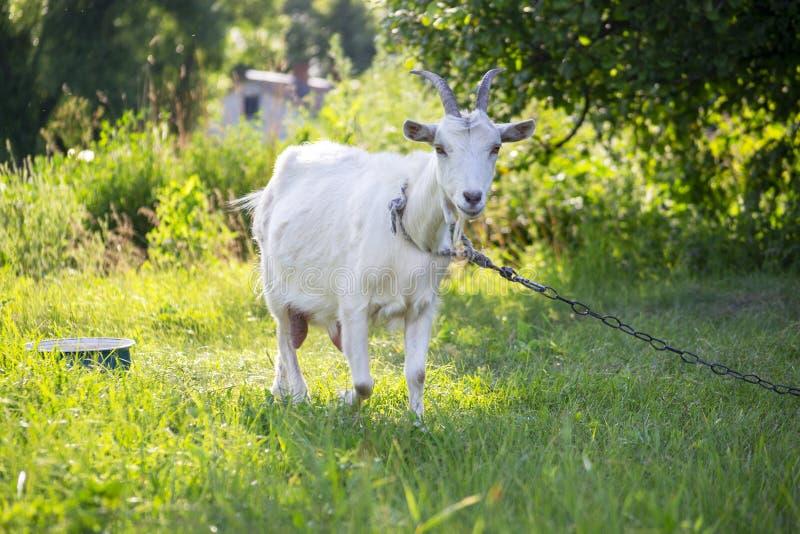 Close-upportret van witte volwassen geit die op het groene gebied van de de zomerweide bij dorpsplatteland met gras bedekken royalty-vrije stock afbeelding